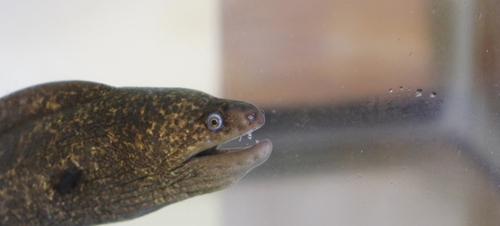 Morphological and Functional Innovation: Raptorial jaws help moray eels swallow large prey