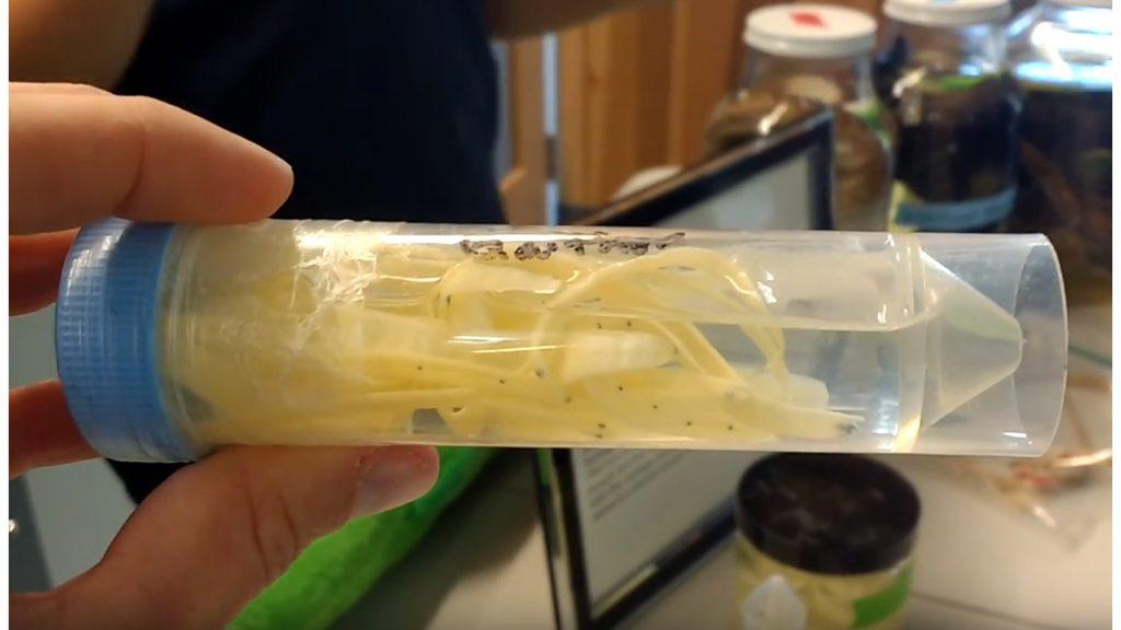 eel larvae leptocephali